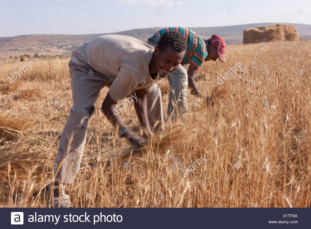 Grain harvest, harvest, crop, Abyssinia highlands, highland, Africa, scenery, landscape, agriculture, farmers, Ethiopia, - Stock Image