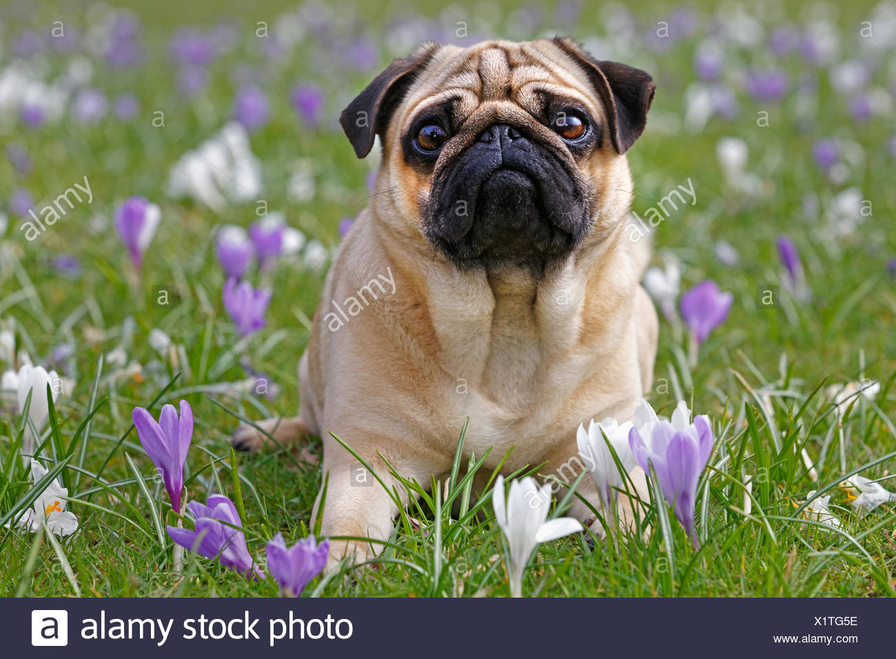 Pug in meadow with crocuses, Schleswig-Holstein, Germany - Stock Image