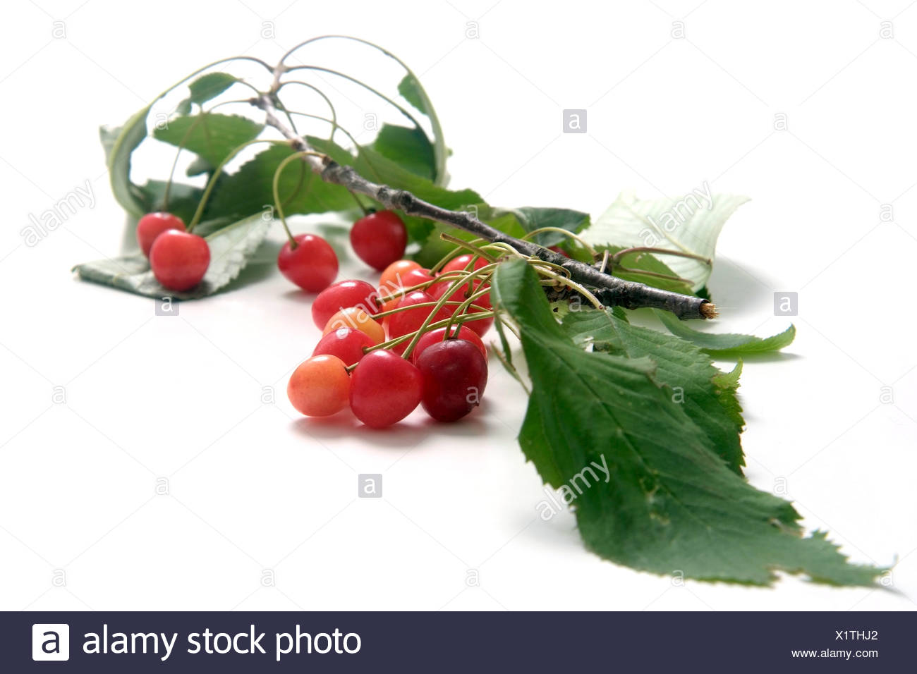 Wild cherries  with twig and leaves - Stock Image