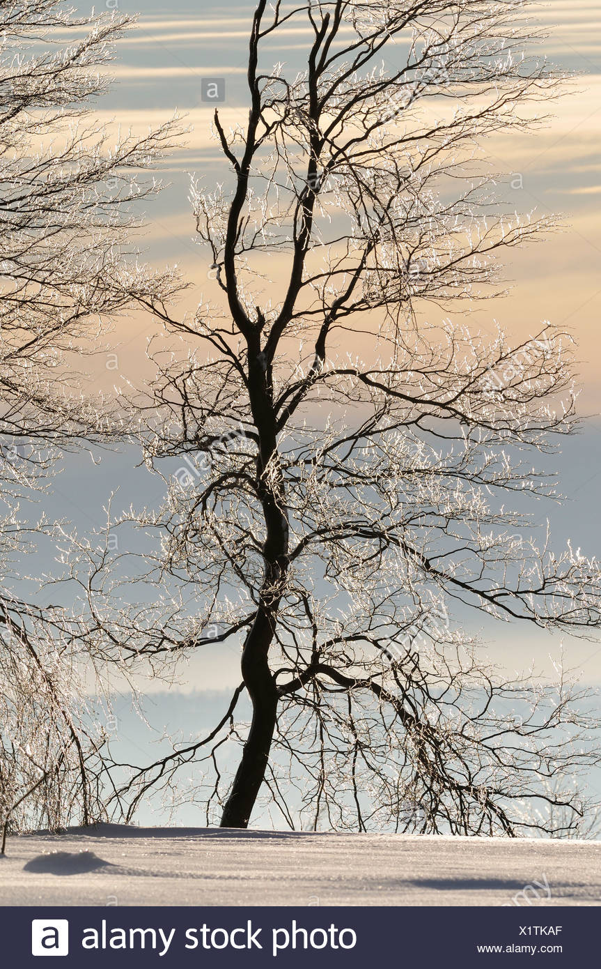 tree with hoar frost, Germany - Stock Image