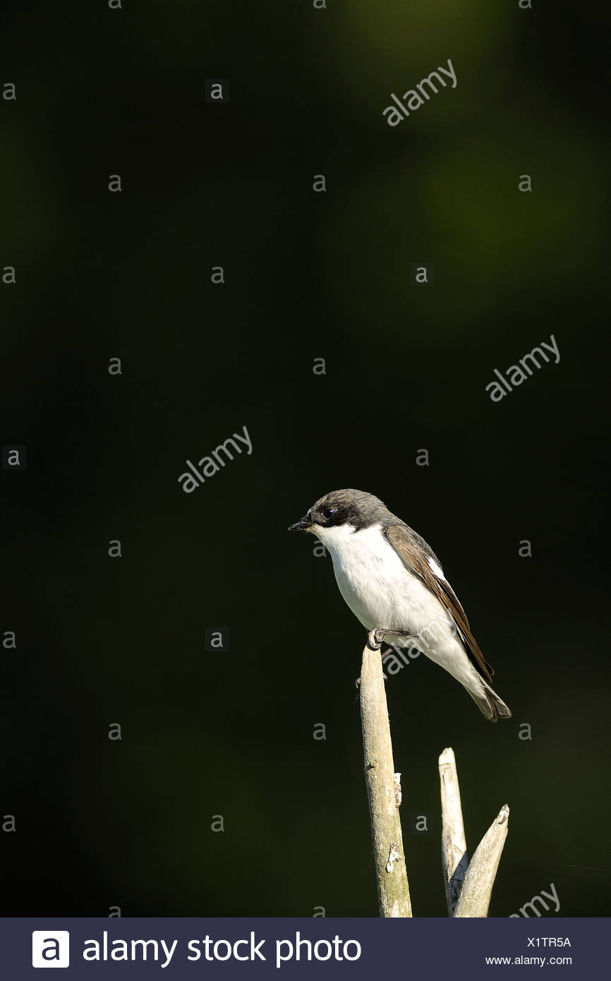 Side view of a flycatcher against blurred background - Stock Image