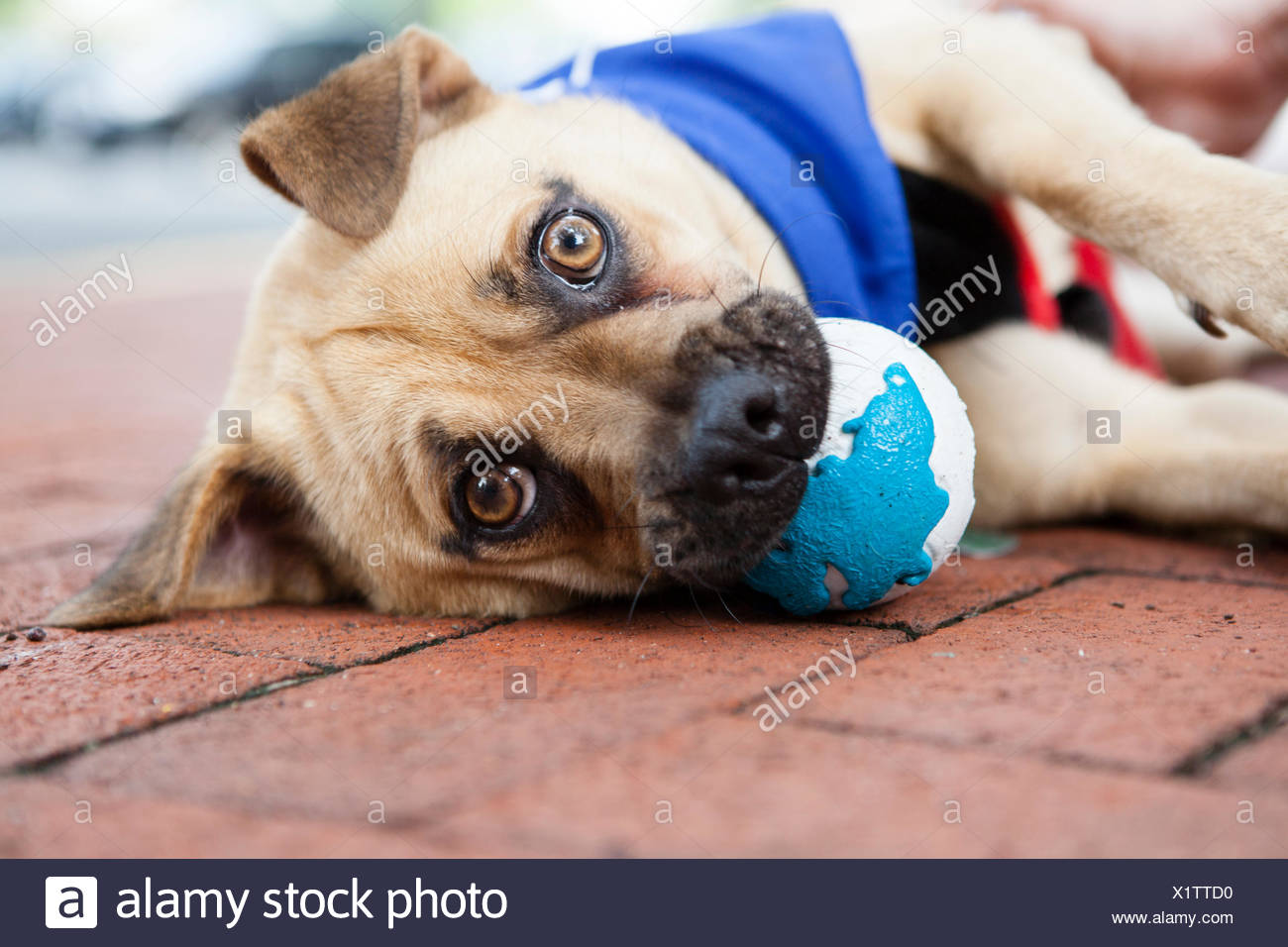 A rescued pug mix plays with a rubber ball at an adoption event in Arlington, Virginia. - Stock Image