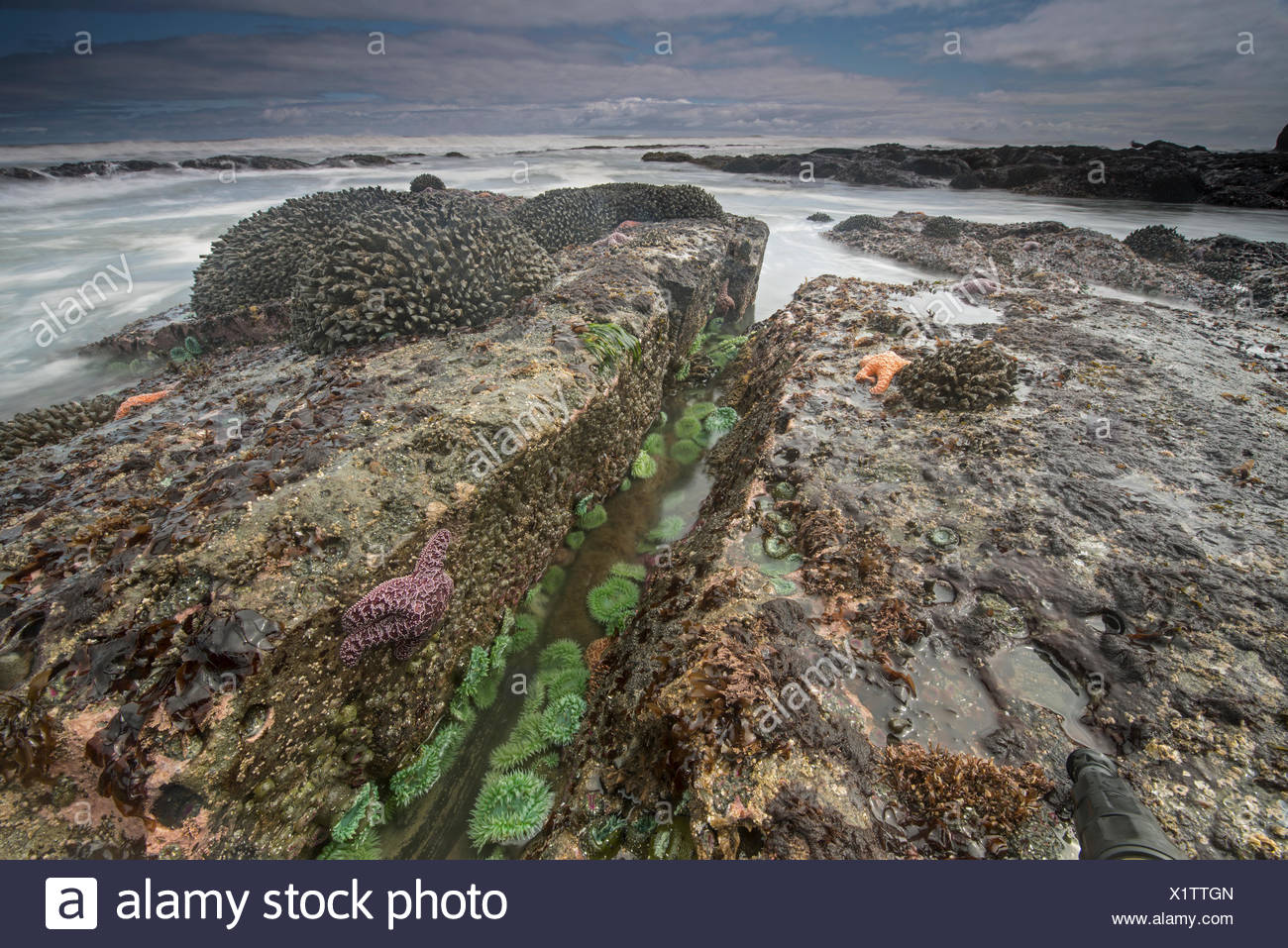An ochre sea star, in decline due to rising sea temperatures, in a tide pool in Washington's Olympic National Park. Stock Photo