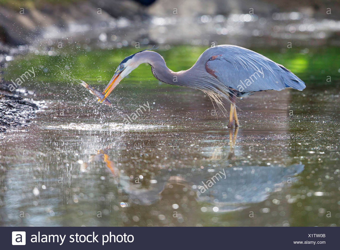 great blue heron (Ardea herodias), preying a catfish, with reflexion in the water, USA, Arizona - Stock Image
