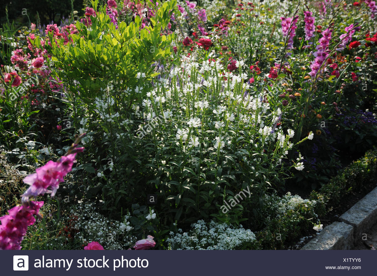 Obedient plant - Stock Image