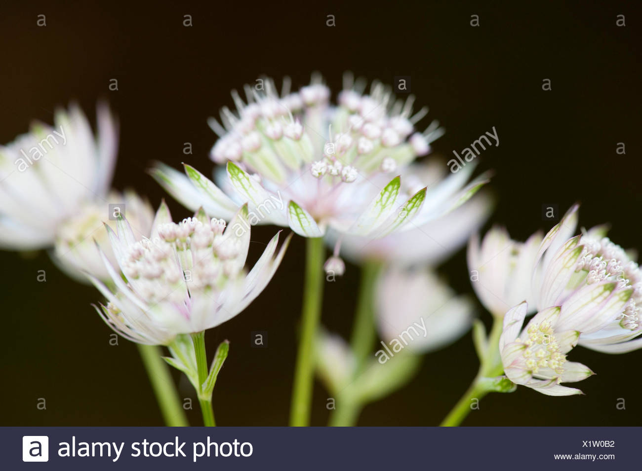 Soft White Flowers Species Unknown Possibly Allium Zarnesti