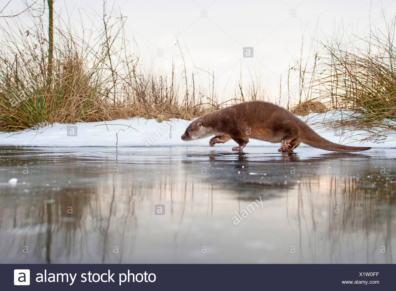 European river otter, European Otter, Eurasian Otter (Lutra lutra), female walking on a frozen up ice cap, Germany - Stock Image