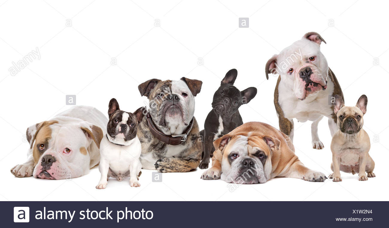animal pet mammal lie lying lies dog studio front view highkey breed bulldog wrinkled homey domestic put sitting sit wrinkles - Stock Image