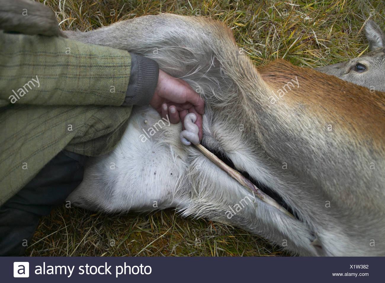 red deer (Cervus elaphus), stalker holding bowels between his hingers of a shot and opened animal, United Kingdom, Scotland, Sutherland, Alladale Wilderness Reserve - Stock Image