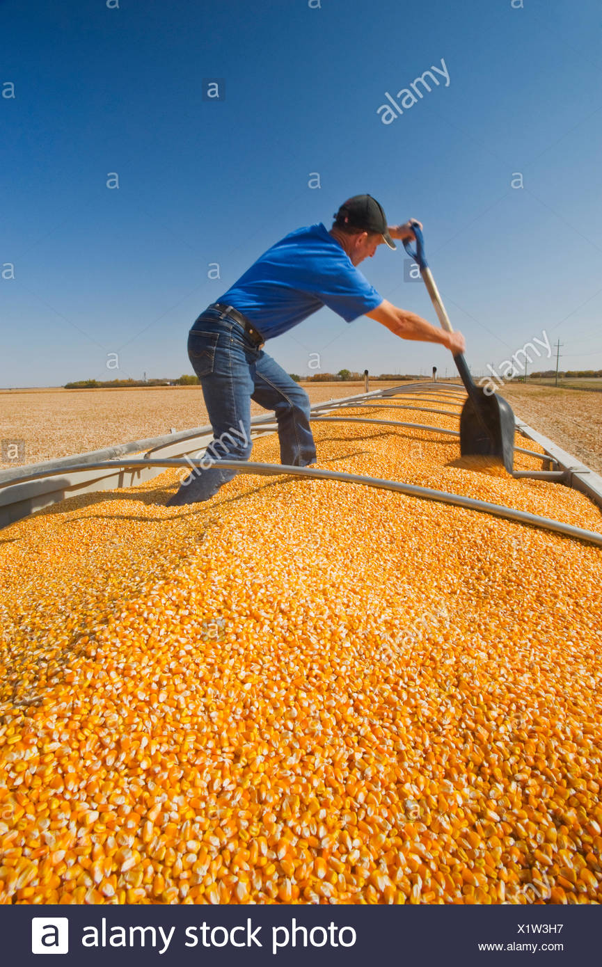 a man levels a load of grain/feed corn in the back of a grain truck during the harvest near Niverville, Manitoba, Canada - Stock Image
