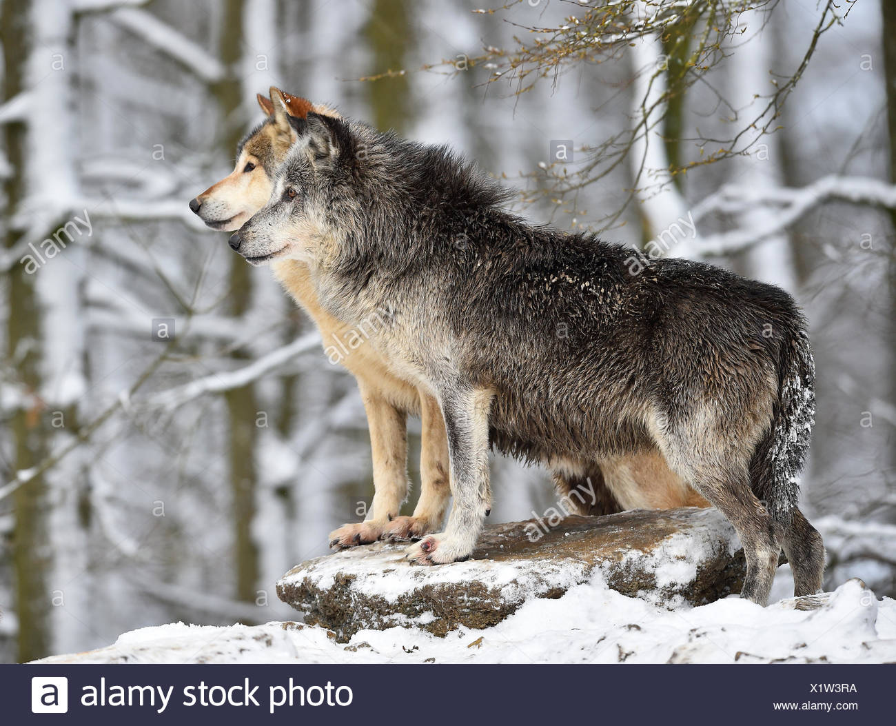 Male and female alpha wolf, alpha wolf, Eastern Wolf, Eastern timber wolf (Canis lupus lycaon) in winter, look out, captive - Stock Image