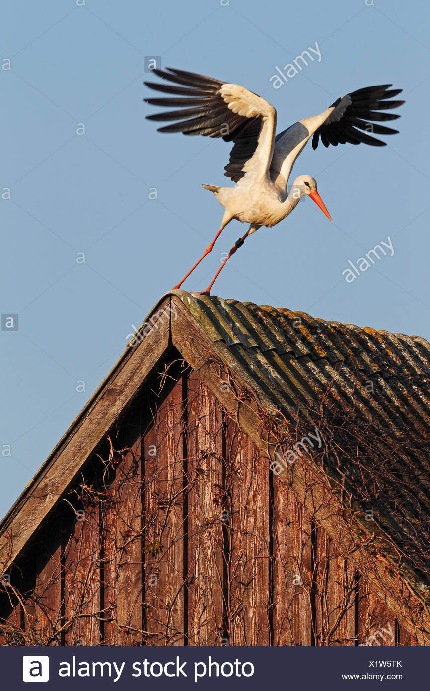 White Stork (Ciconia ciconia) taking off from a roof, in the evening light, Bergenhusen, Schleswig-Holstein, Germany Stock Photo