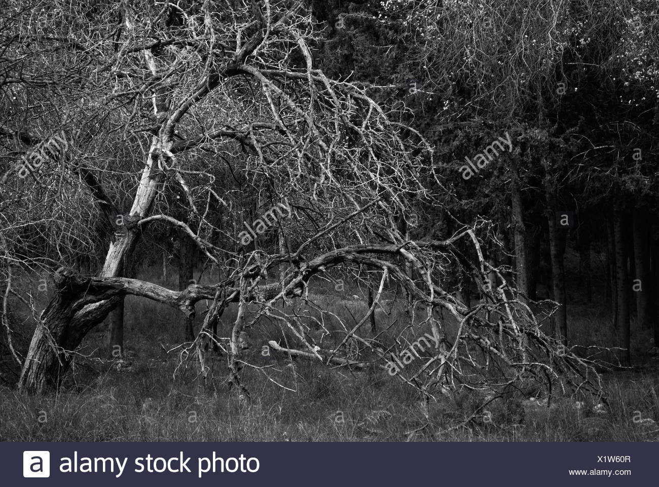 Israel Pine Trees in a forest black and white - Stock Image