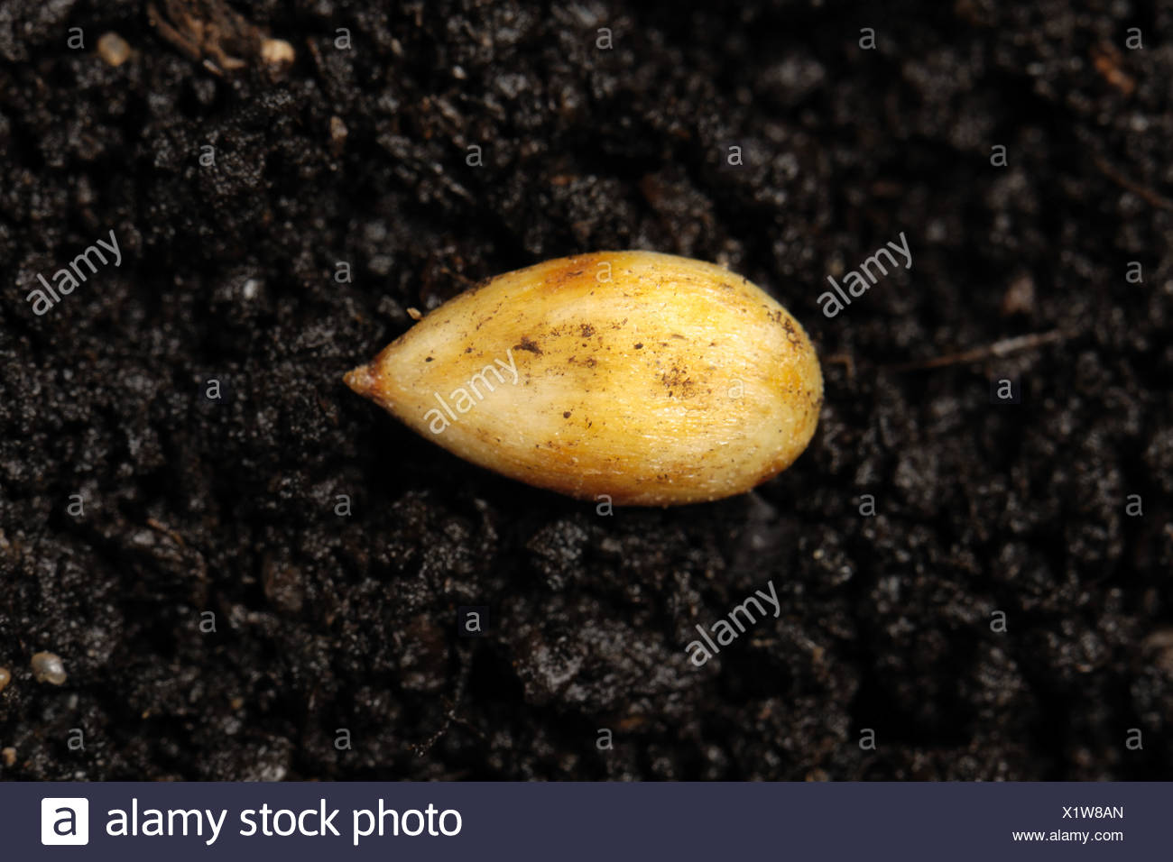 Discovery apple seed on a soil surface - Stock Image