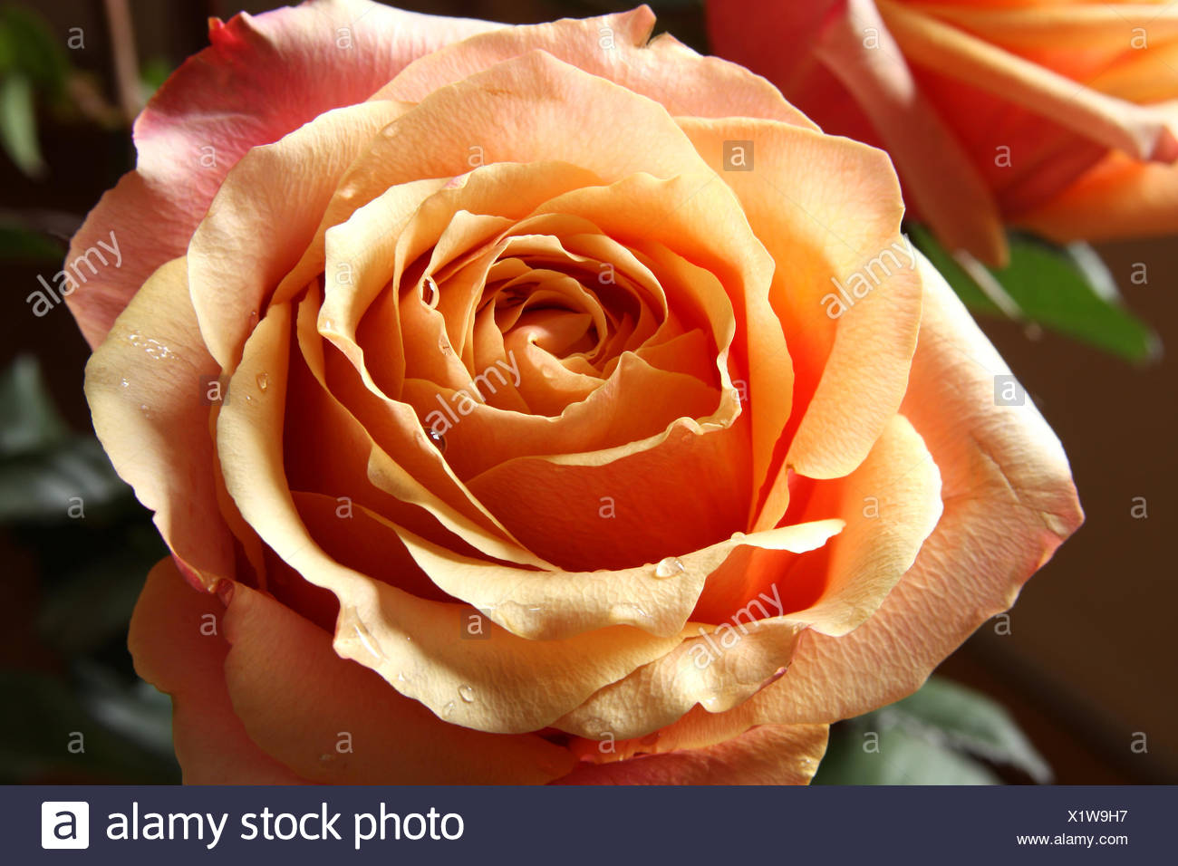 Roses in Pastel Color Stock Photo