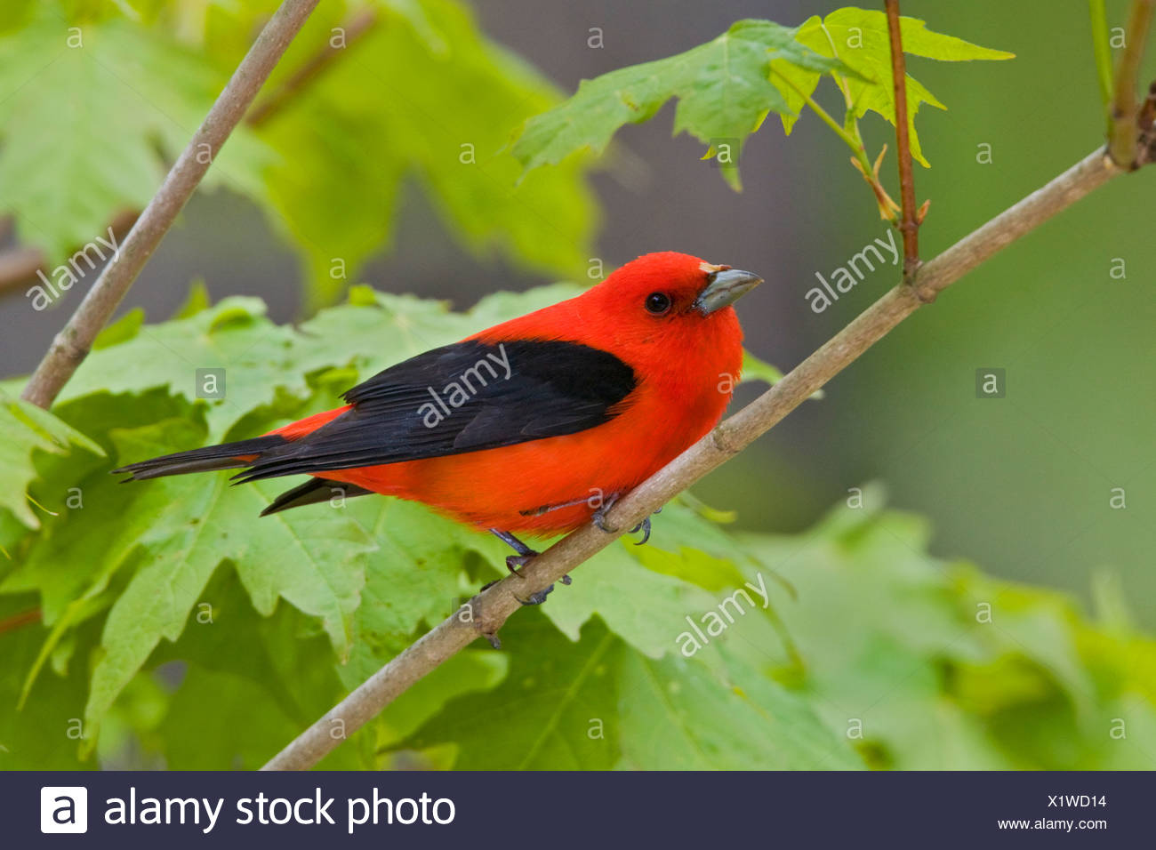 Scarlet Tanager (Piranga olivacea) perched on a branch near Long Point, Ontario, Canada - Stock Image