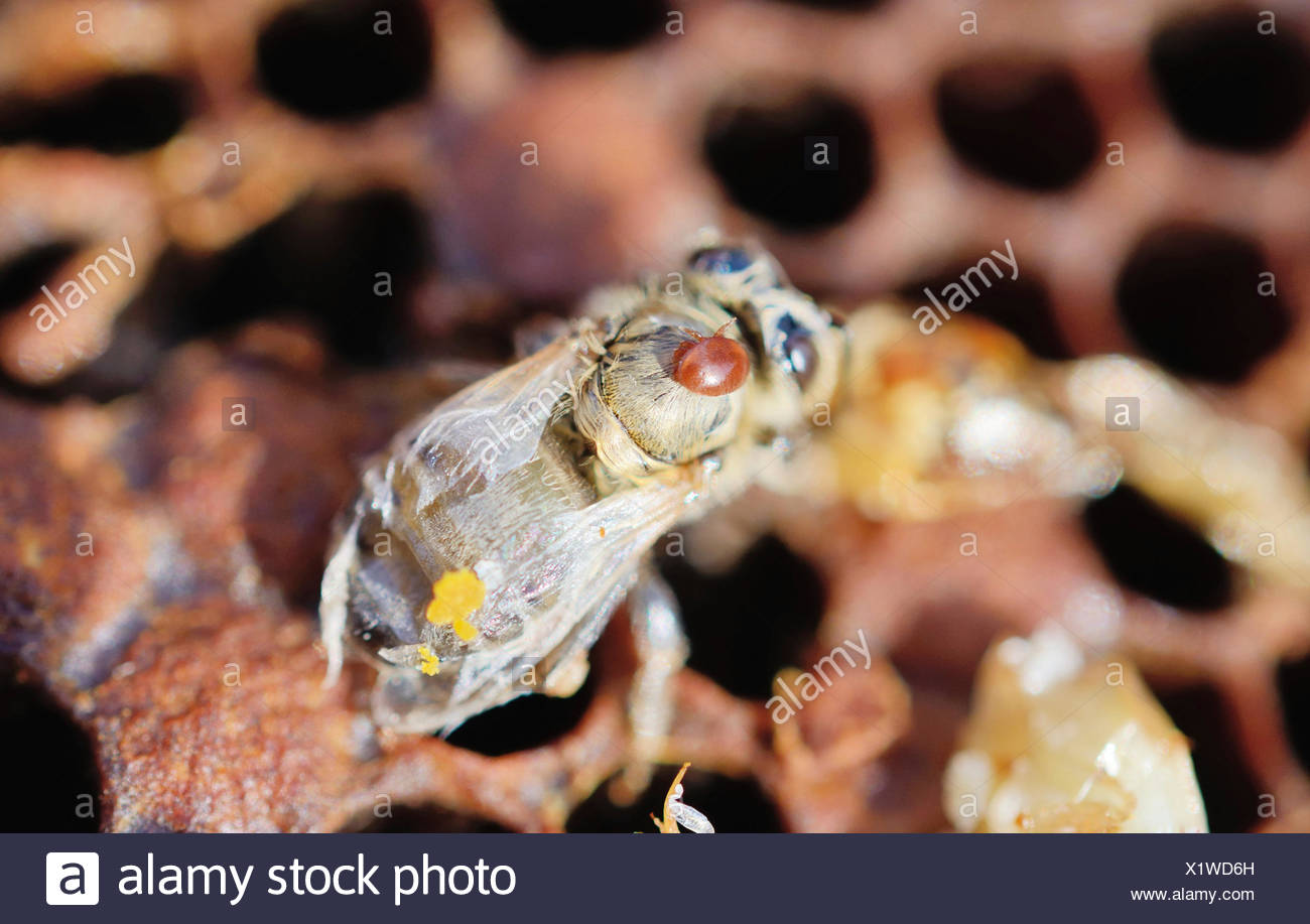 Bee colony infested with Varroa Honey Bee Mites (Varroa destructor, syn. Jacobsoni), mite on a newly emerged, deformed Bee (Apis - Stock Image