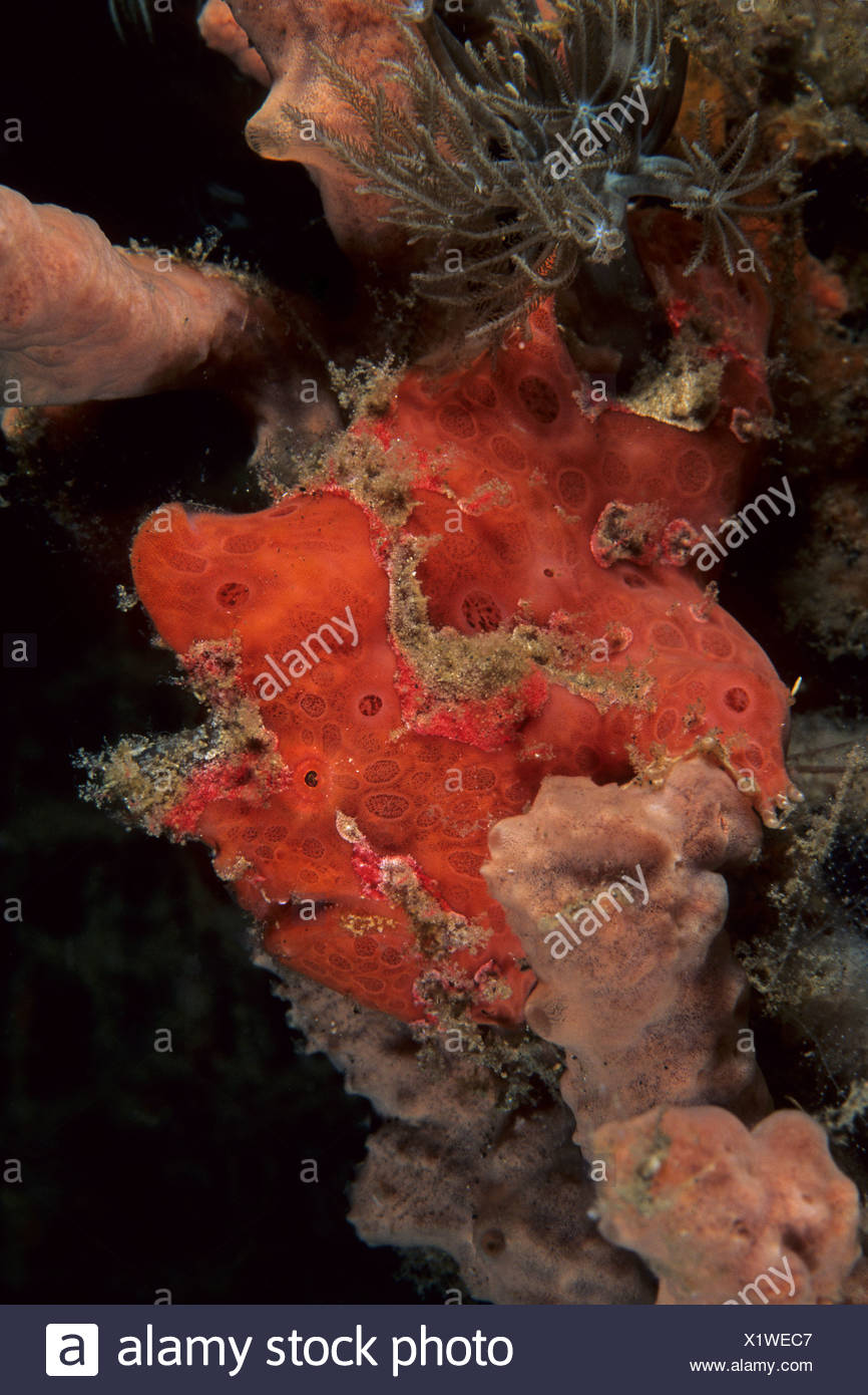 Frogfish Anglerfish Stock Photos & Frogfish Anglerfish Stock Images ...