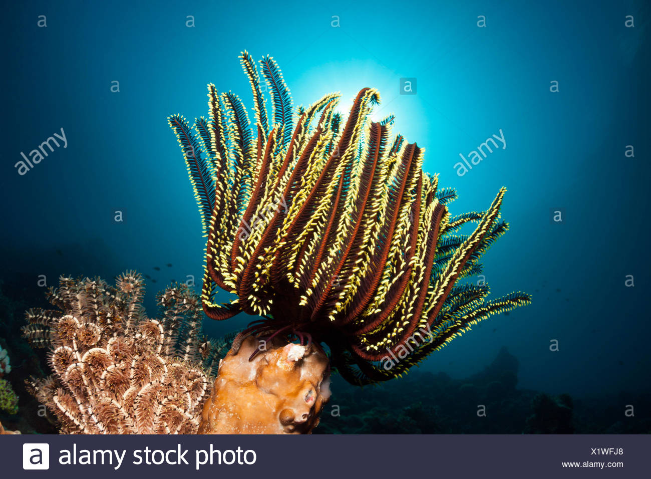 Prachthaarstern in the reef, Oxycomanthus bennetti, ambon, the Moluccas, Indonesia Stock Photo