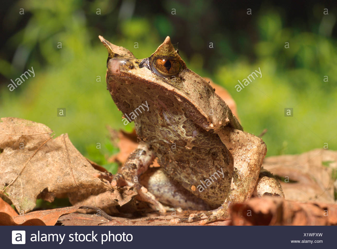 Asian horned toad #14