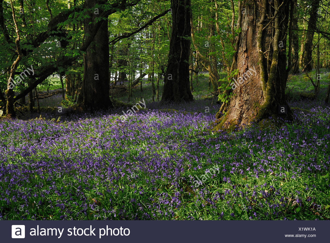Bluebell, Hyacinthoides non-scripta. Lough Key Forest Park, woodland with bluebells. Ireland, County Roscommon, Boyle, - Stock Image