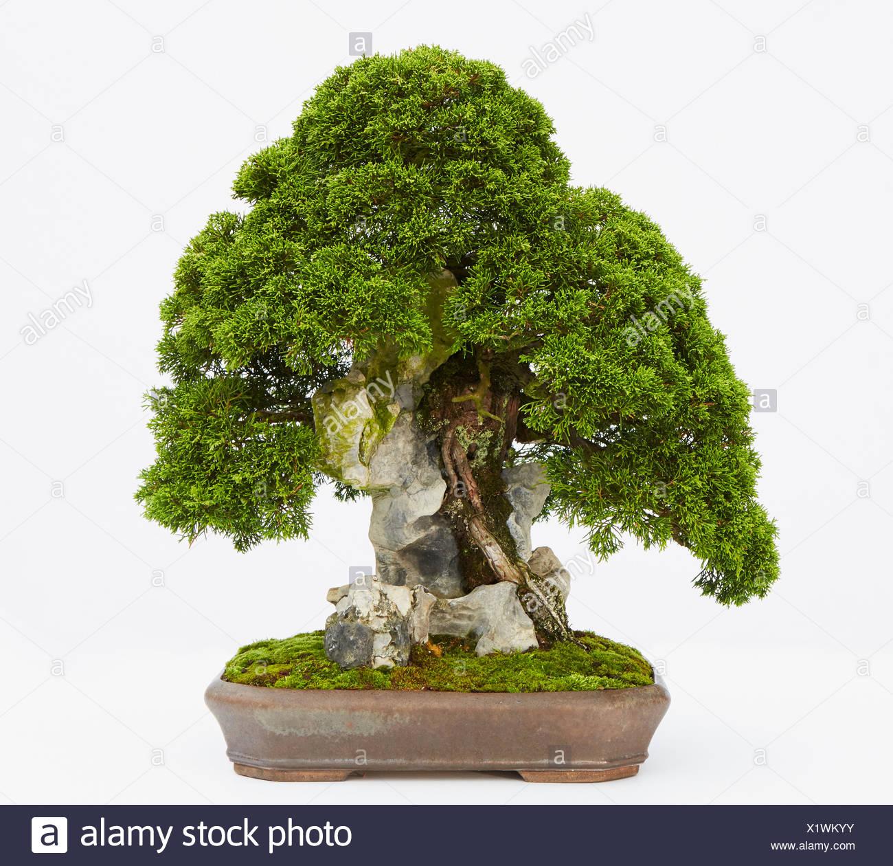 Bonsai Juniperus Chinensis 'Itoigawa' (Chinese Juniper) - Stock Image