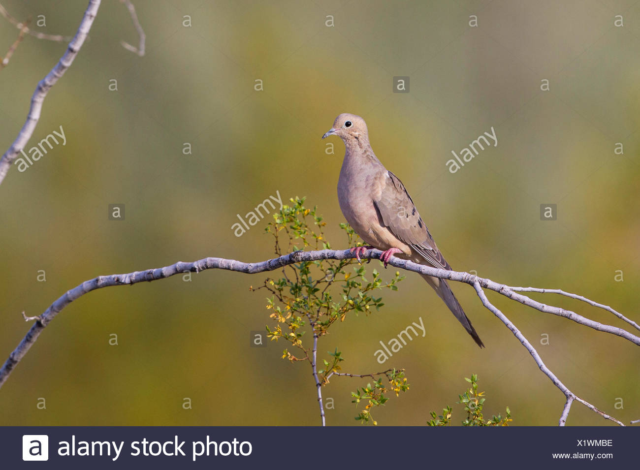 mourning dove (Zenaida macroura), sits on a branch, USA, Arizona - Stock Image