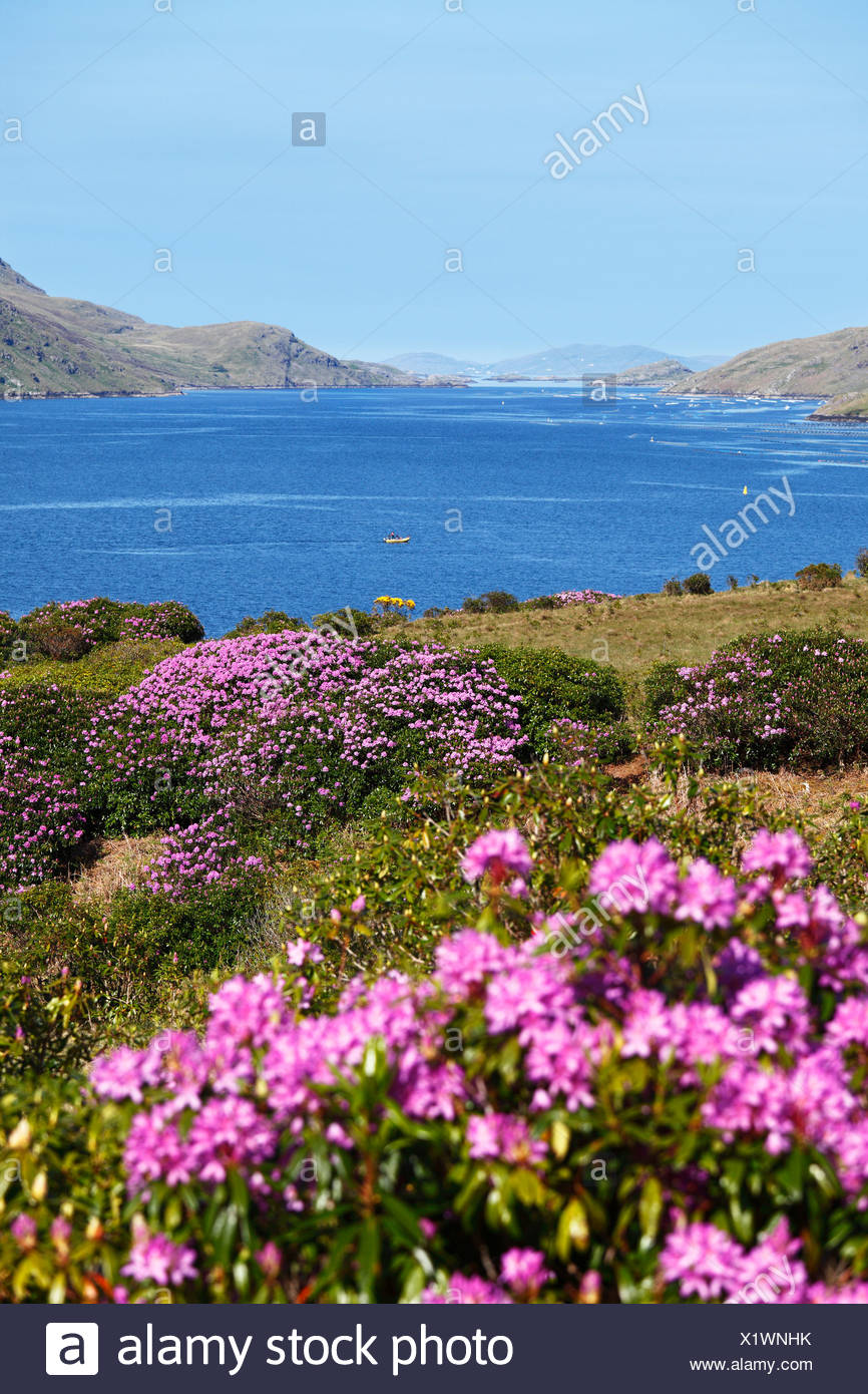 Rhododendron shrubs on the Killary Harbour, Connemara, County Galway, Republic of Ireland, Europe - Stock Image