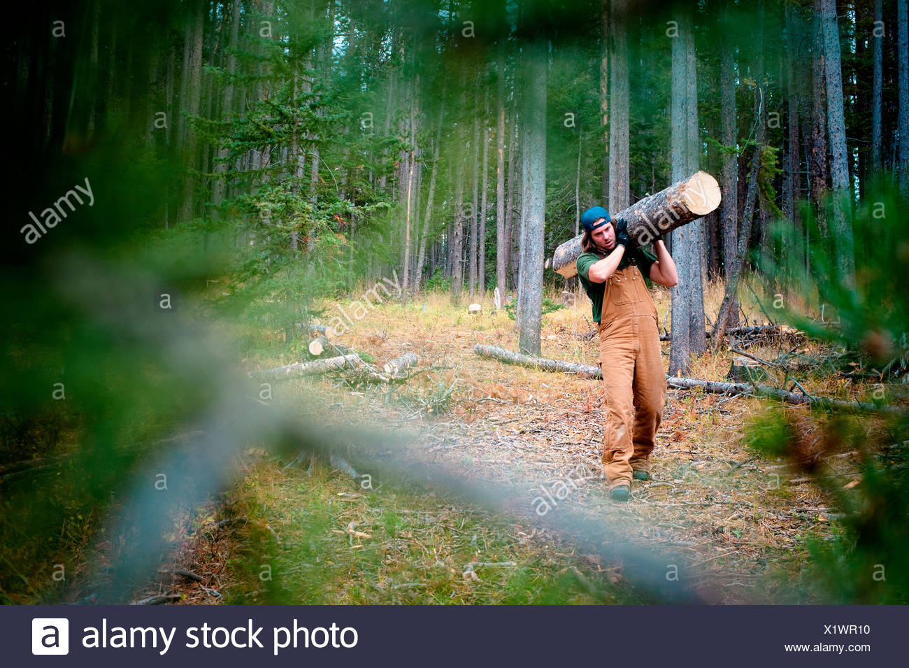 A man carries a large log in the woods. - Stock Image