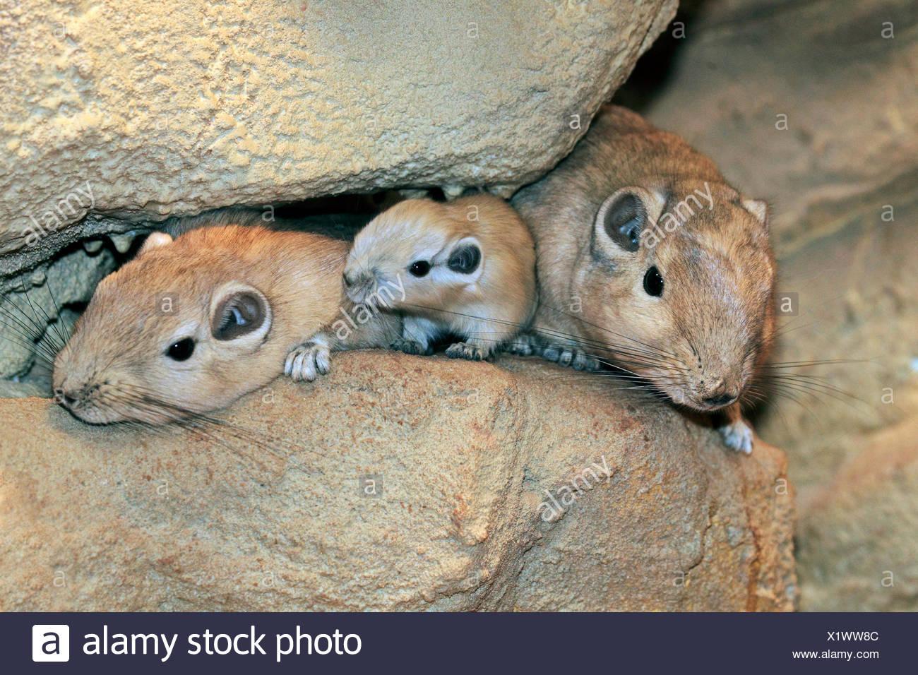 gundi (Ctenodactylus gundi), with pups between rocks - Stock Image