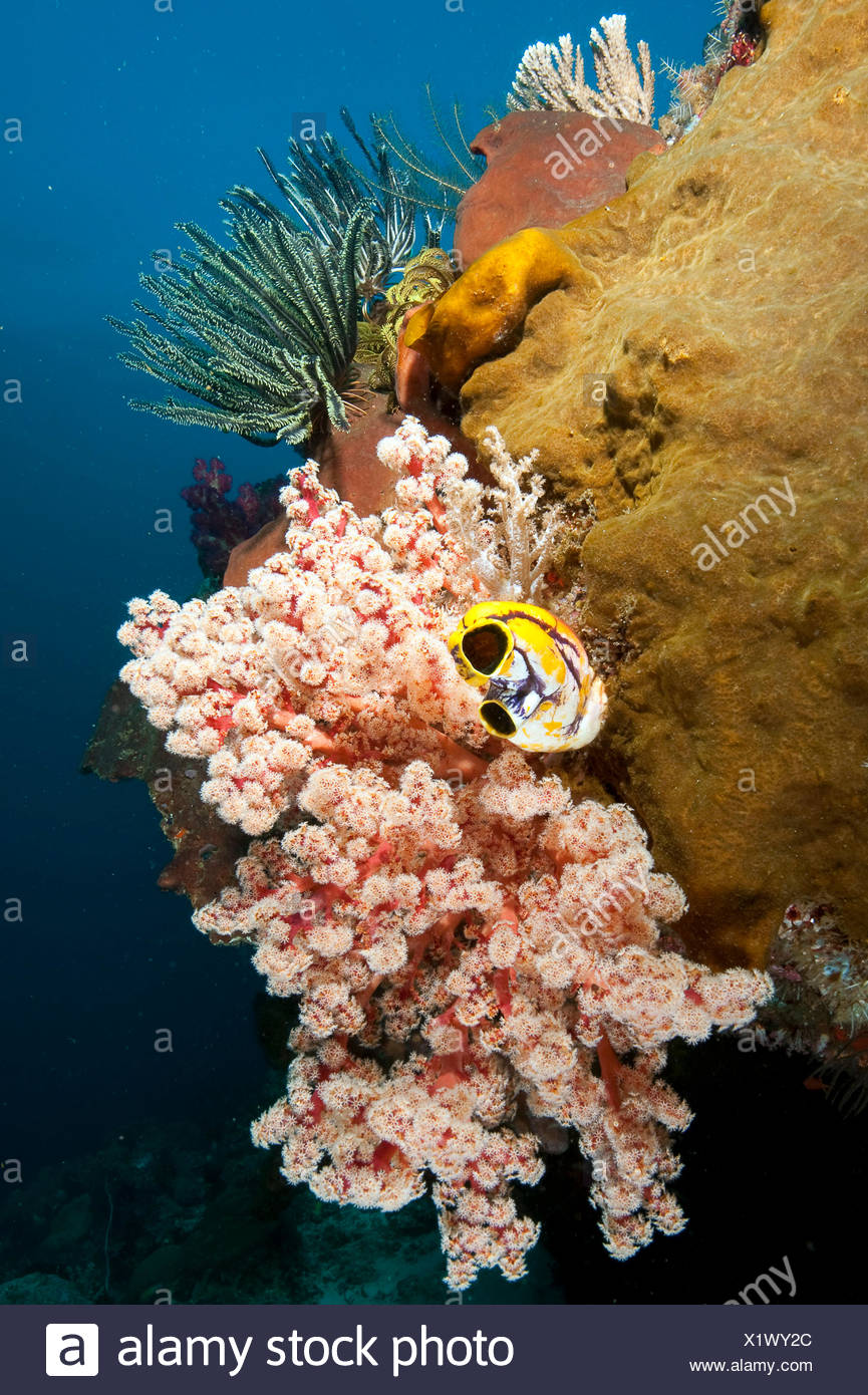 softcoral, hardcoral, featherstar and ox-heart ascidian, Halmahera, Molukkes, Indonesia, Asia, Pacific / (Cenometra bella), (Polycarpa aurata) - Stock Image