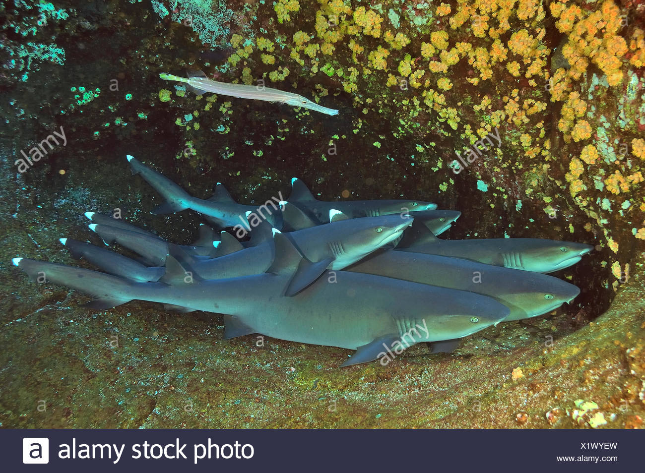 Group of White tip sharks (Triaenodon obesus) resting on sea floor with a Trumpetfish (Aulostomus chinensis) on top of them, Revillagigedo islands, Mexico. Pacific Ocean. - Stock Image