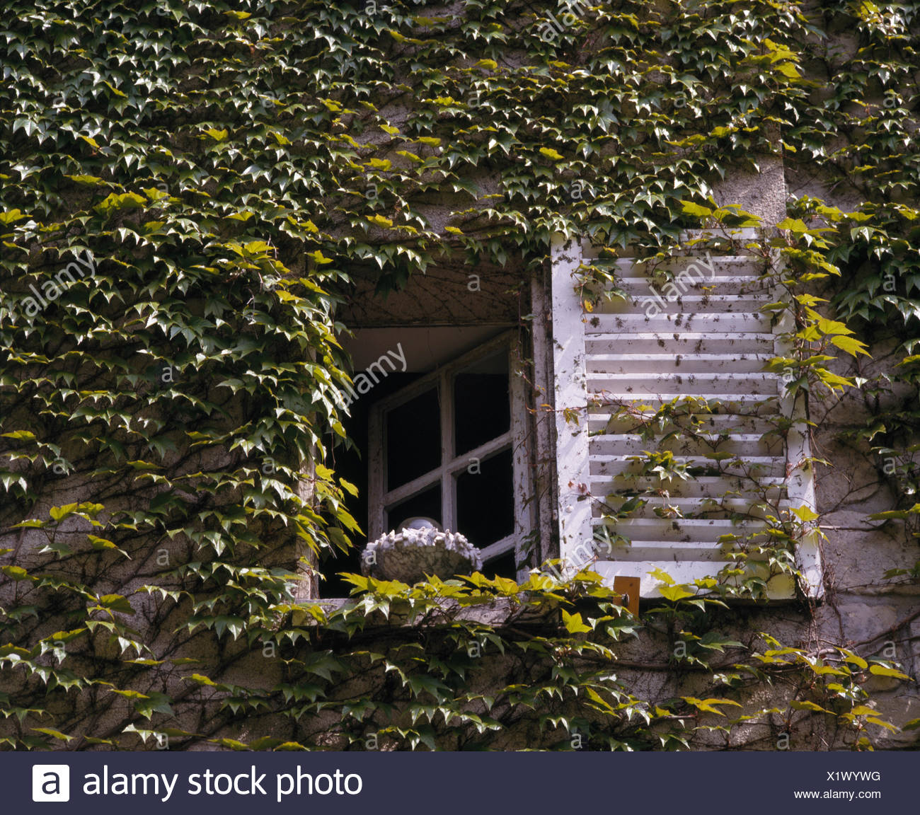 Close Up Of White Shutter And Window French Country House Covered With Green Virginia Creeper