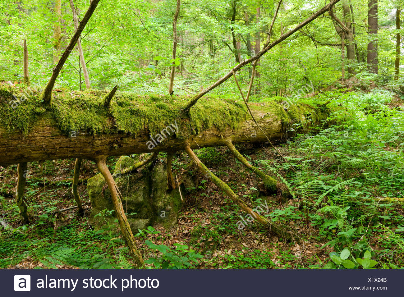 Deadwood, Norway Spruce (Picea abies), Vessertal-Thuringian Forest biosphere reserve, Thuringia, Germany - Stock Image