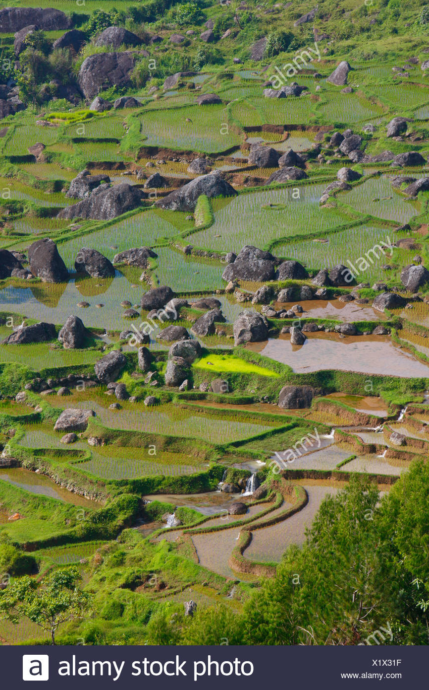 Terraced rice fields, Batutumonga, Toraja land, Sulawesi, Indonesia, Asia - Stock Image