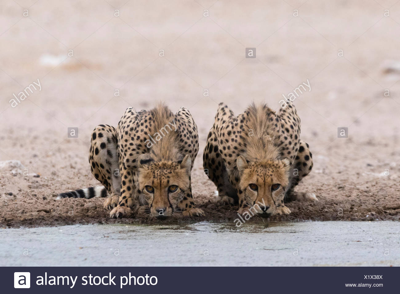 Two cheetahs, Acinonyx jubatus, drinking at a waterhole. - Stock Image