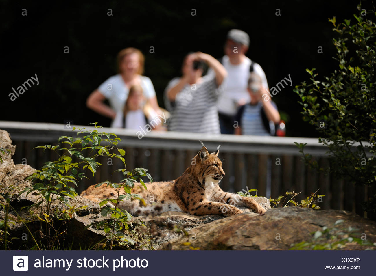 Lynx (Lynx lynx) lying on a rock being observed and photographed by visitors, Bavarian Forest National Park, Bavaria - Stock Image