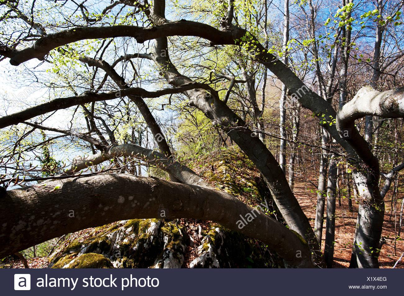 beech, beech forest, Fagus, Fagus silvatica, spring, Jura, canton Bern, nature, natural forest, forest reserve, Schlossflue, Swi - Stock Image