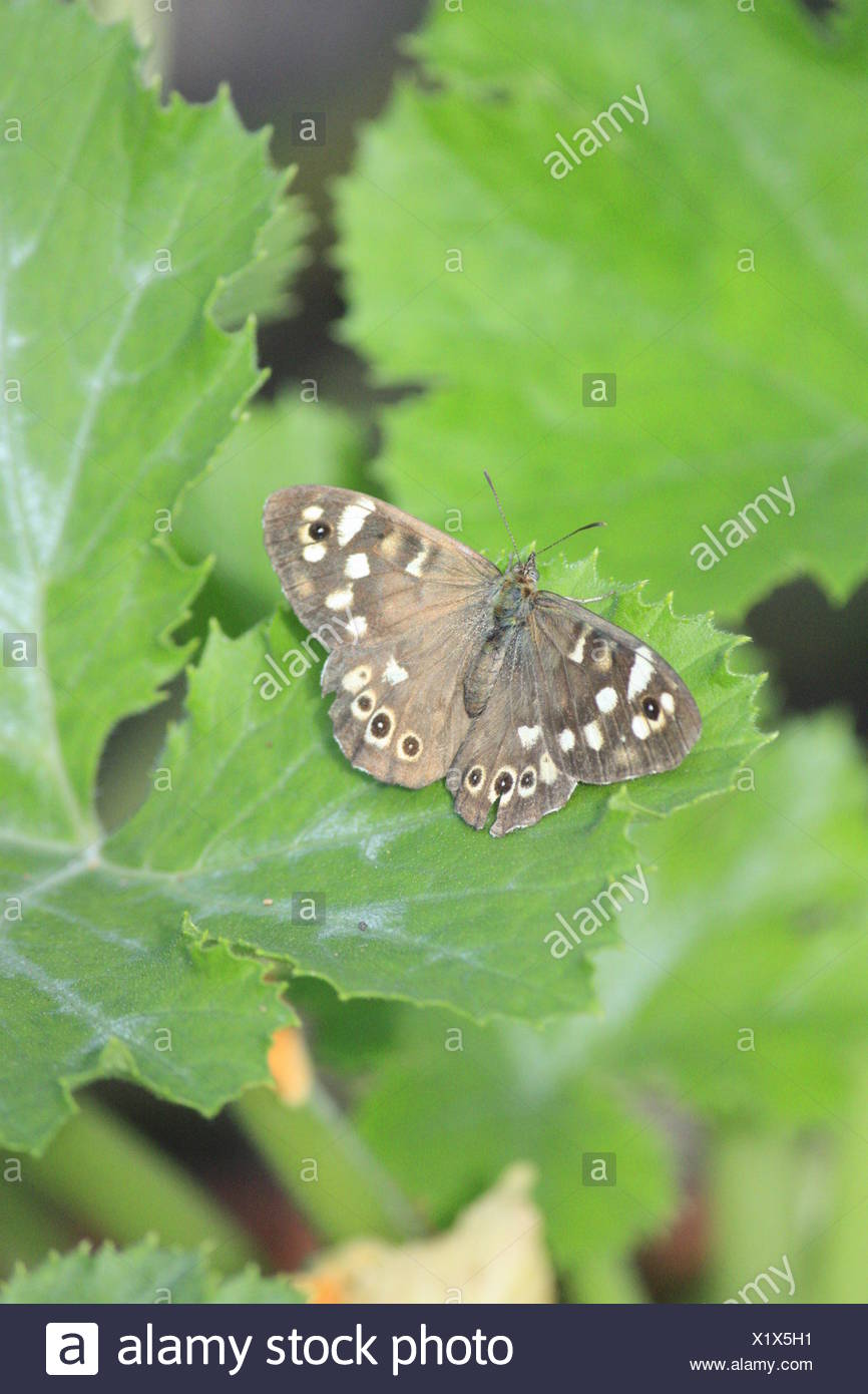 Foliage Butterfly on green leaf - Stock Image