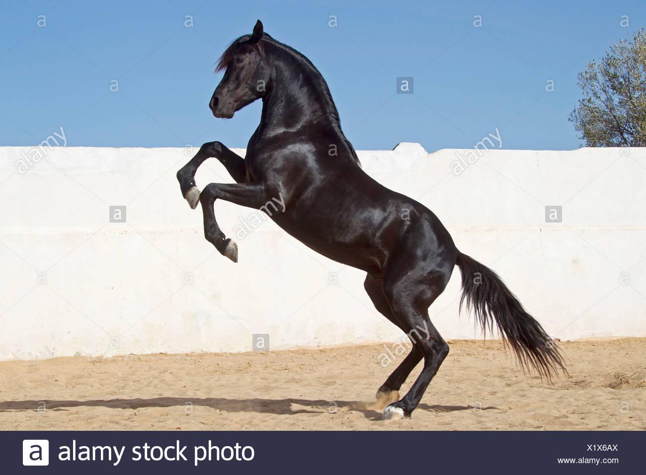 Arabian Horse Black Stallion Rearing In A Paddock Stock Photo Alamy