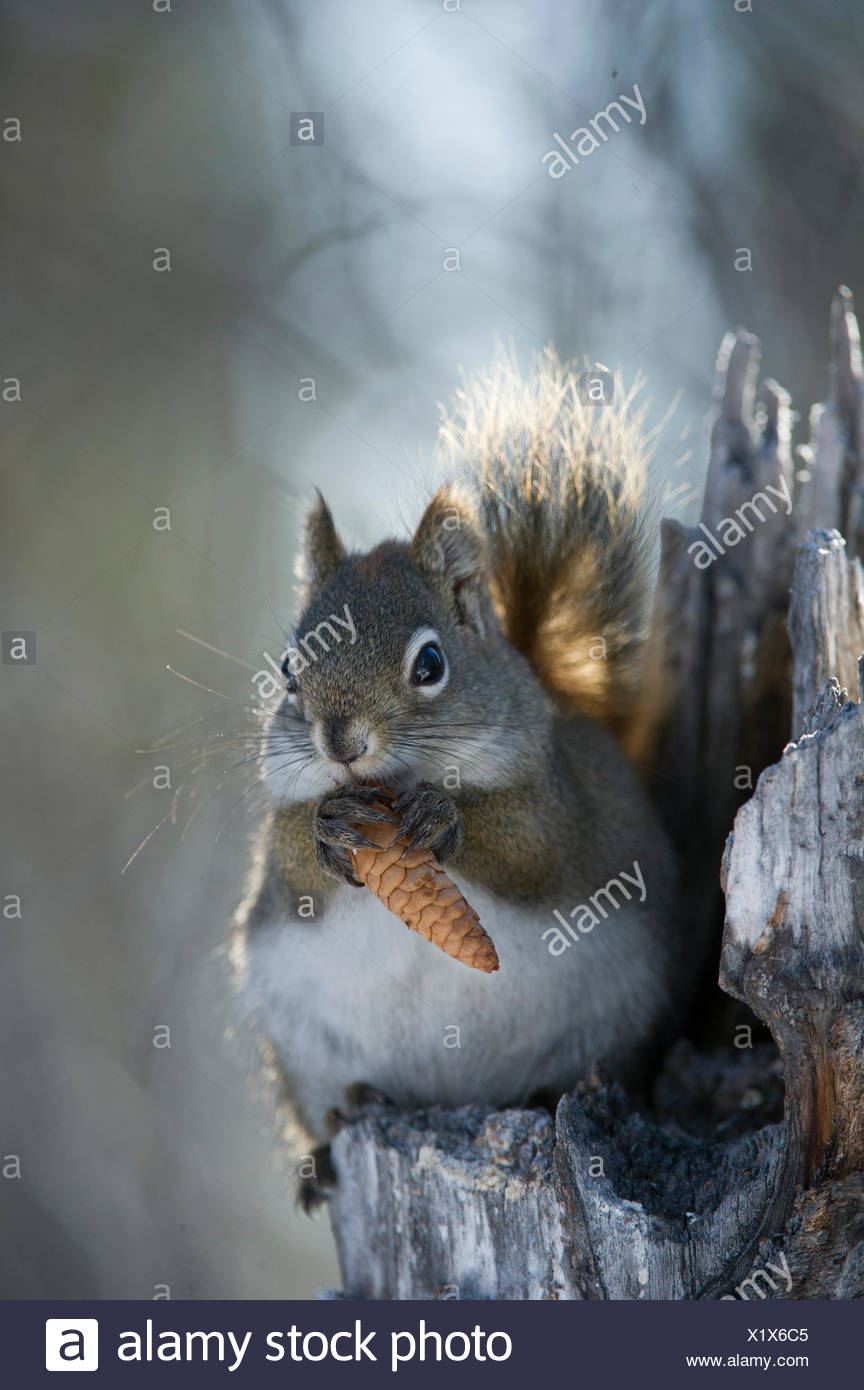 A red squirrel holds a pinecone. - Stock Image