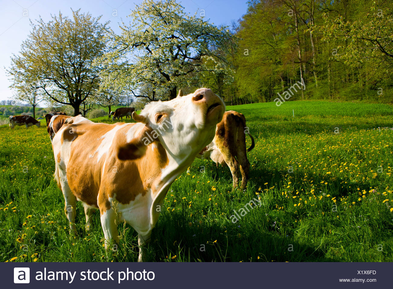 Reigoldswil, Switzerland, Europe, canton Basel land, meadow, blossoming, fruit-trees, cherry trees, cows, cow's stoves - Stock Image