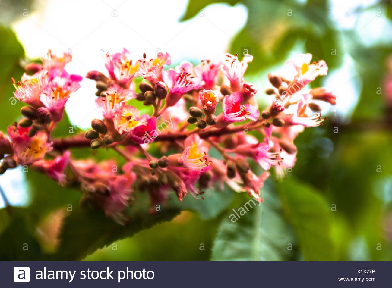 Close up pink chestnut tree stock photos close up pink chestnut bunch of pink flowers of the horse chestnut tree stock image mightylinksfo Gallery