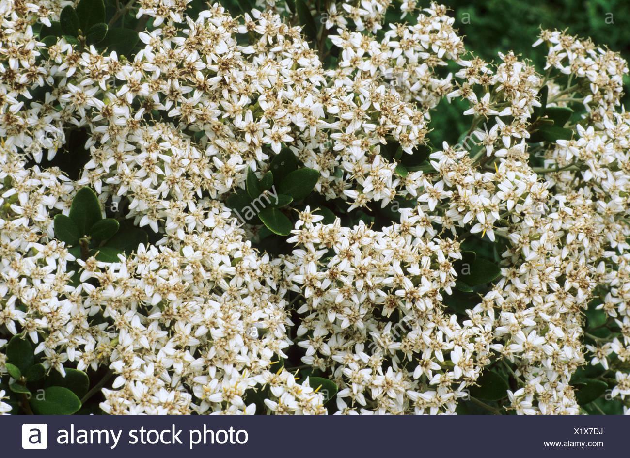Olearia x haastii white flower flowers garden plant plants daisy olearia x haastii white flower flowers garden plant plants daisy bush mightylinksfo