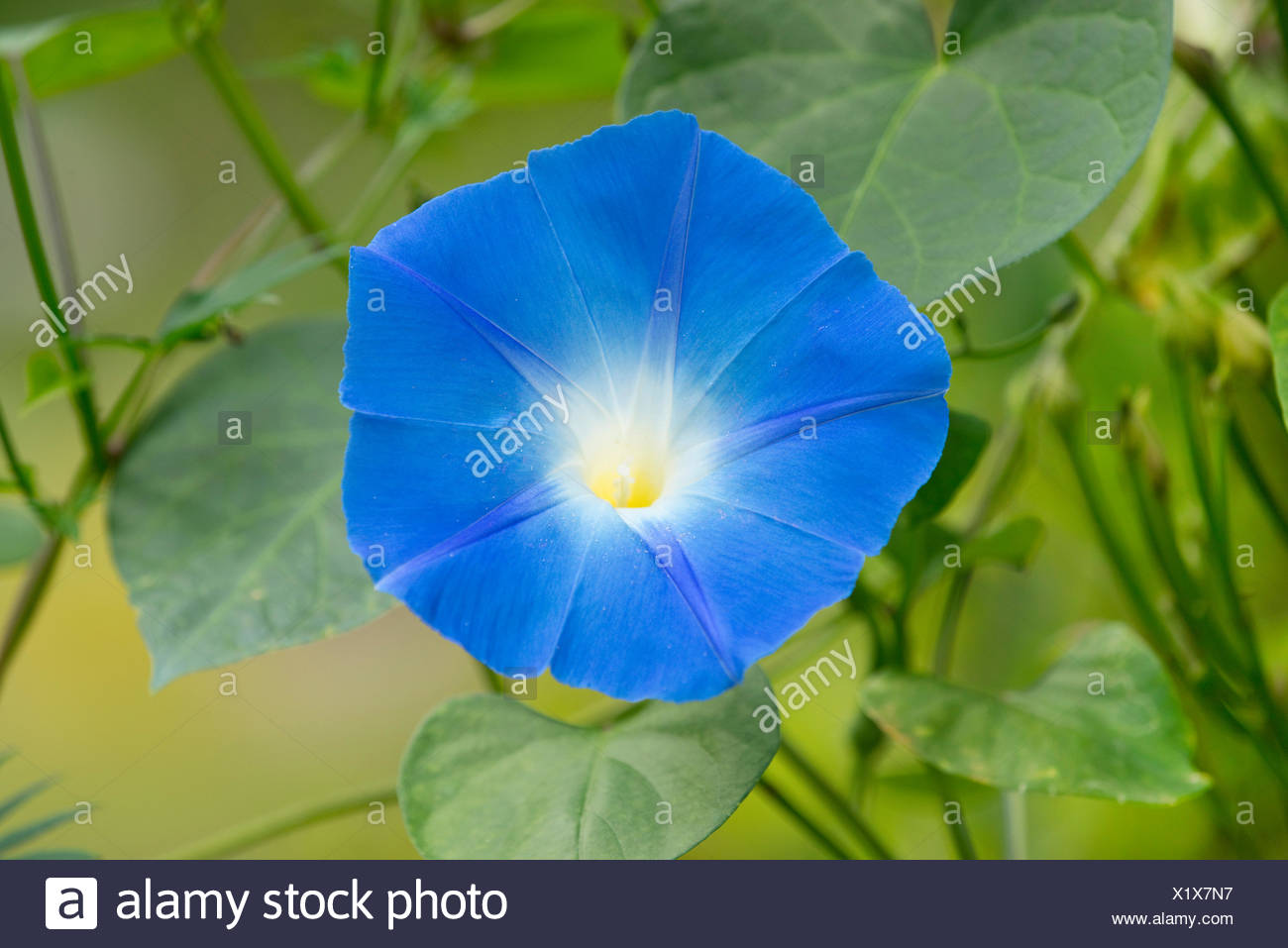 Heavenly Blue Morning Glory (Ipomoea tricolor), flowering, Thuringia, Germany - Stock Image