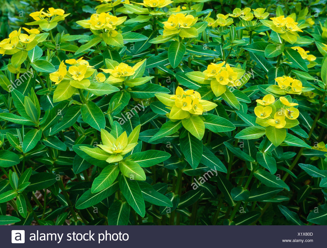 Close-up of euphorbia 'Wallichii' - Stock Image