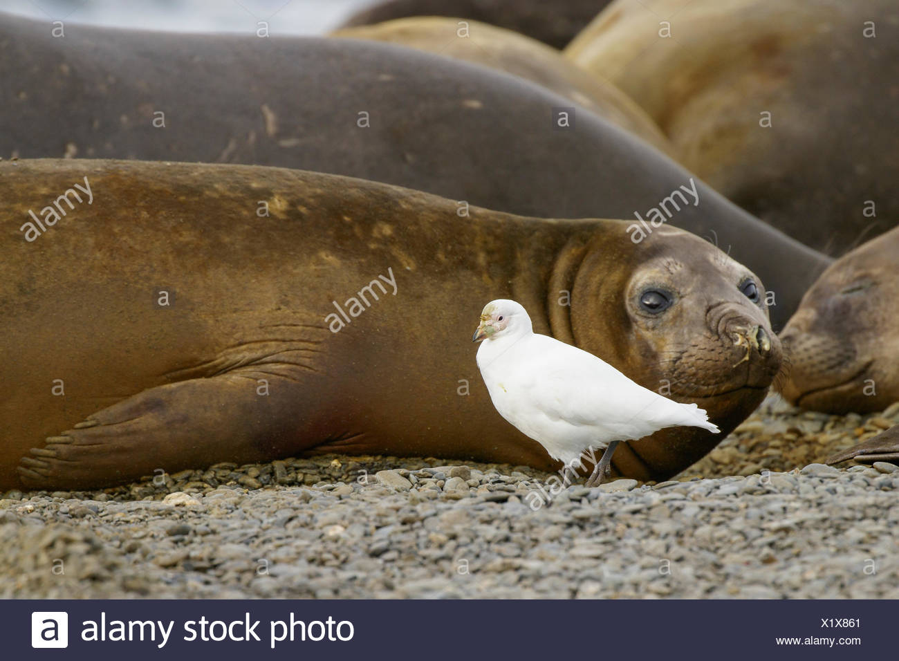 Snowy Sheathbill, Chionis albus, and Elephant Seals, Mirounga angustirostris South Georgia Island - Stock Image