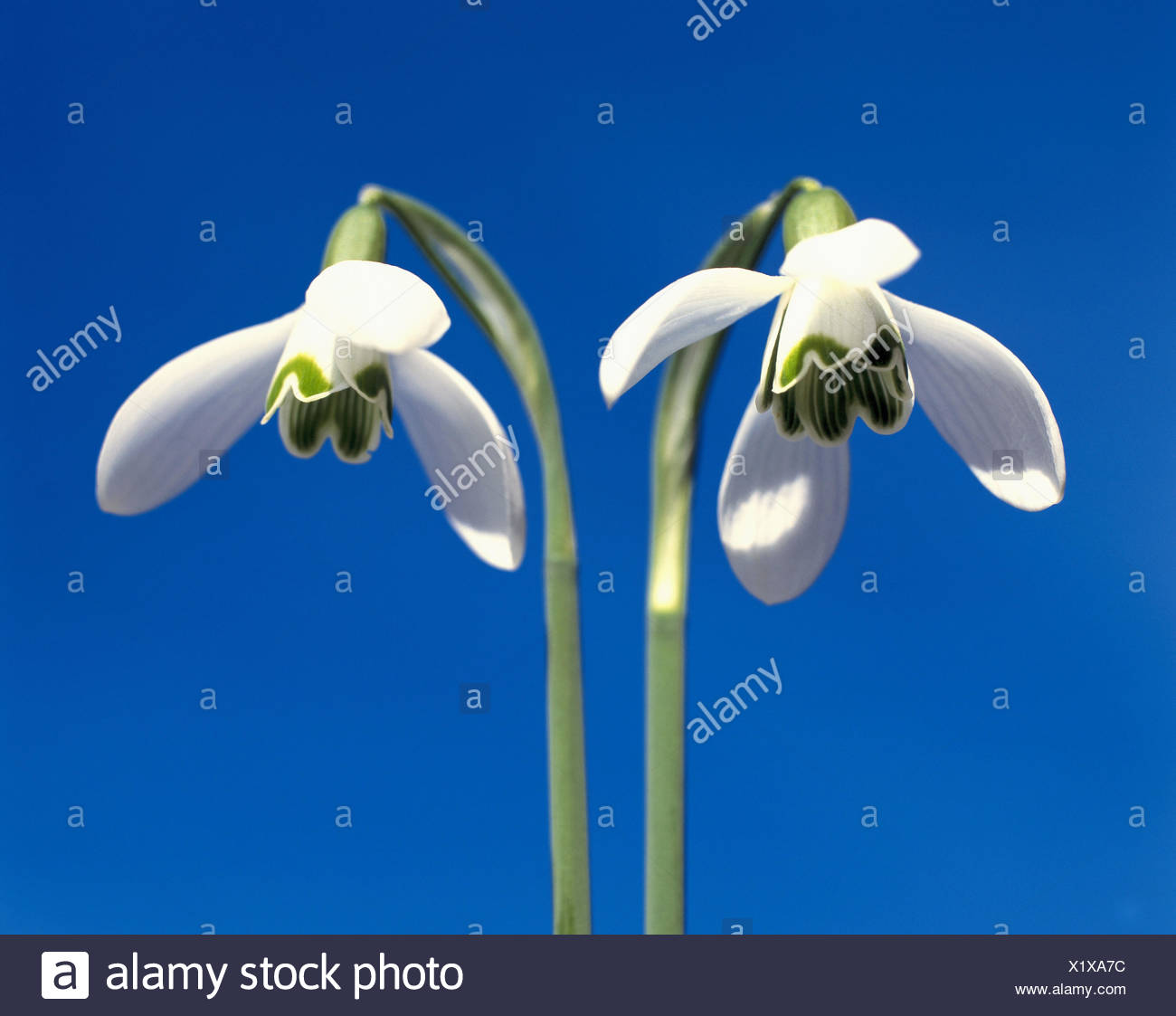 Snow Bells Flowers Stock Photos & Snow Bells Flowers Stock Images ...