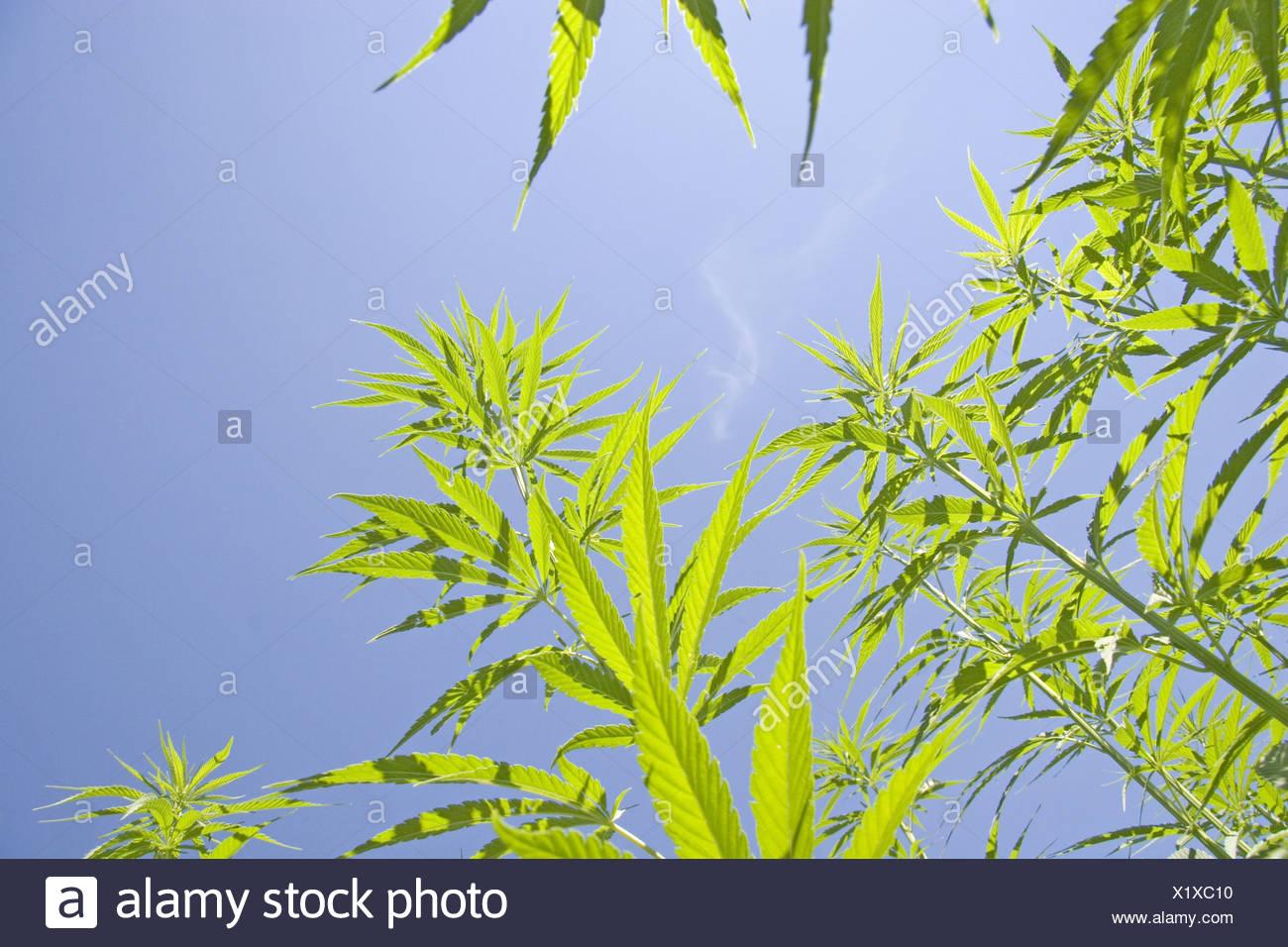 Indian hemp, marijuana, mary jane (Cannabis sativa), in front of the blue sky Stock Photo