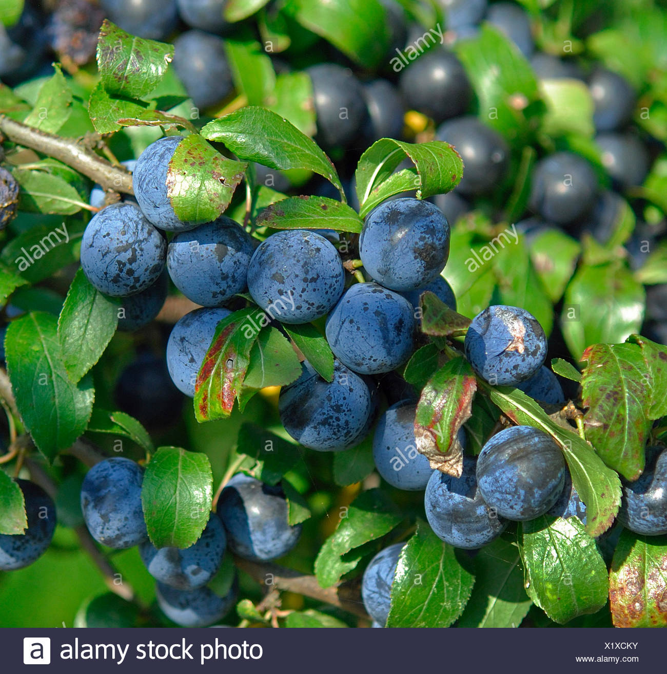 blackthorn, sloe (Prunus spinosa 'Nittel', Prunus spinosa Nittel), fruits of cultivar Nittel - Stock Image